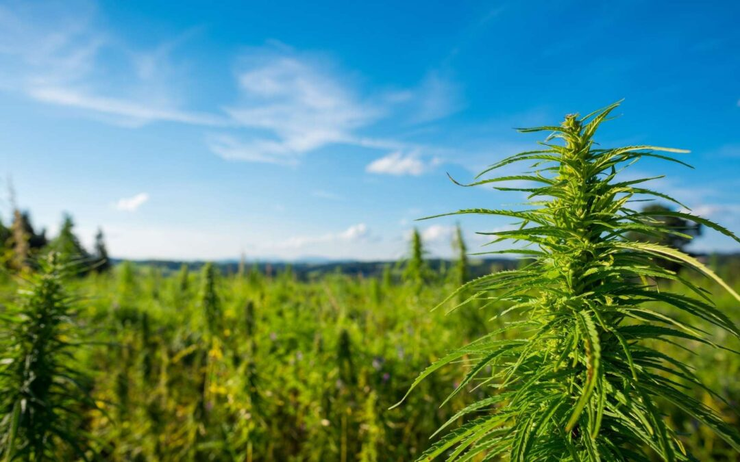 Différence entre le chanvre et l'herbe